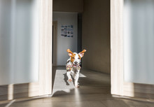 Dog With Toy Running At Home. Puppy Jack Russell Terrier