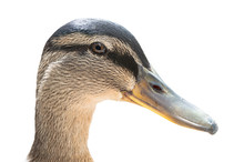 Portrait Of Female Mallard Duc...