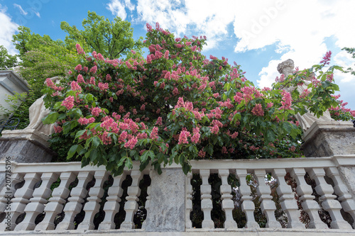 Photo Aesculus x carnea