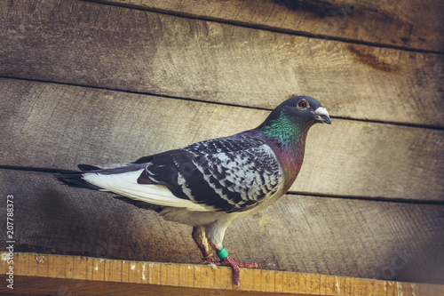 Grey racing pigeon male inside a wooden loft.