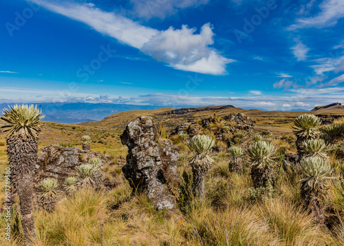 Foto op Plexiglas Zuid-Amerika land Espeletia Frailejones of the Paramo de Oceta Mongui Boyaca in Colombia South America