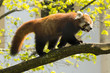 Red panda is running over tree branch