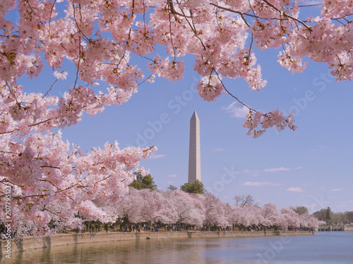 Canvastavla Washington monument during Cherry Blossom Festival in Washington DC, USA