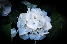 Isolated White Hydrangea On Dark Background