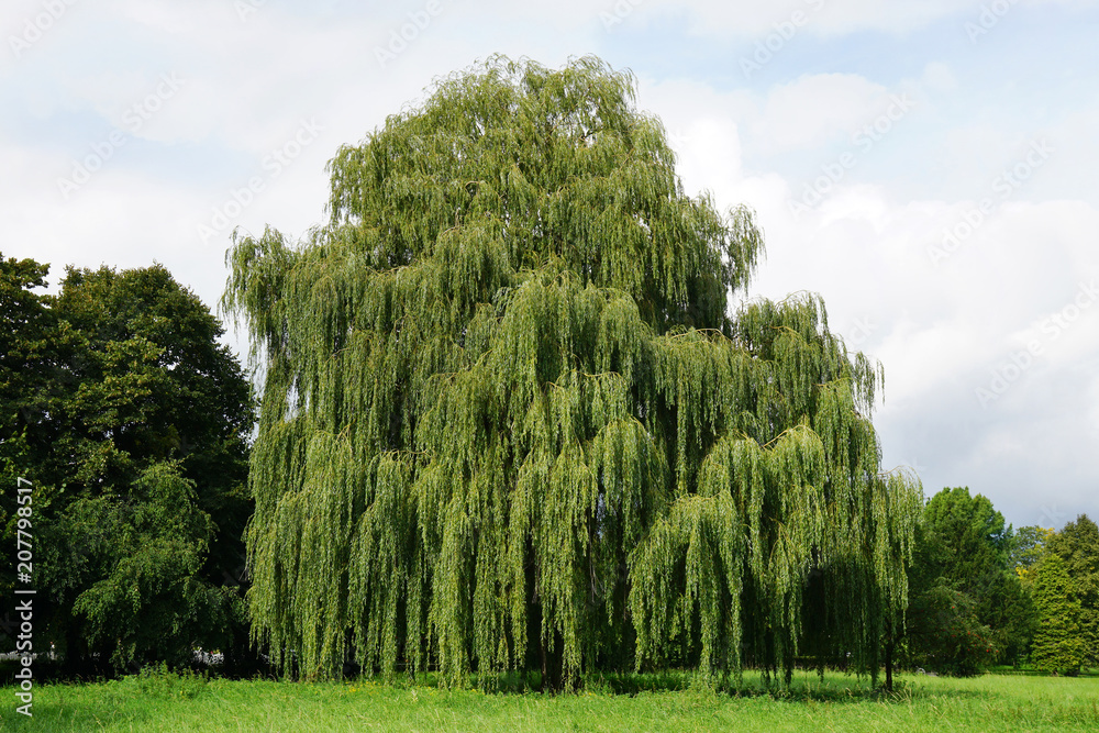 Fototapeta weeping willow tree also known as Babylon willow or salix babylonica