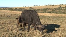 Buffel With Child