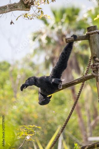 Foto op Aluminium Aap Siamang gibbon Symphalangus syndactylus