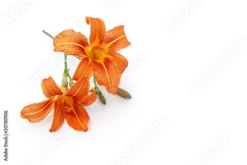 Lilie liegt auf weißem Hintergrund