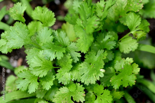Fresh cilantro (Coriandrum sativum) plant growing in a urban garden