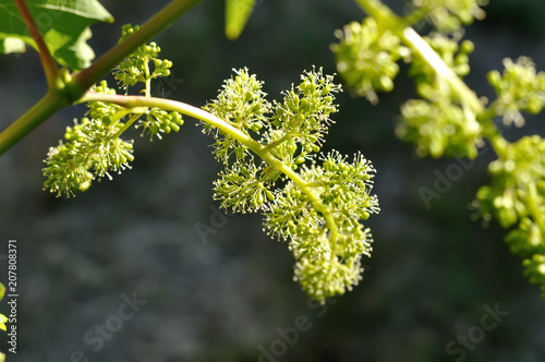 close-up of flowering grape vine, grapes bloom in summer day, backlit