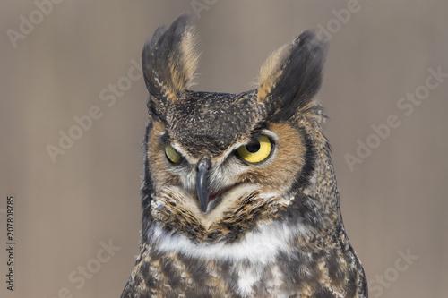Tuinposter Eekhoorn great-horned-owl portrait