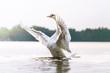 canvas print picture - Stolzer Schwan zeigt seine Brust und macht breitet seine Flügel aus