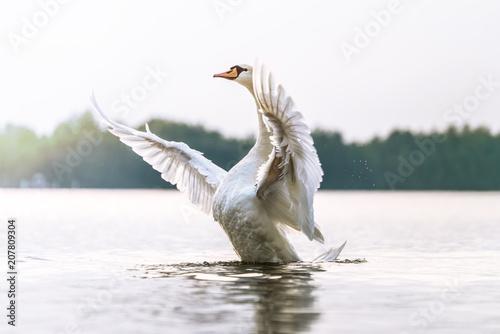Stolzer Schwan zeigt seine Brust und macht breitet seine Flügel aus