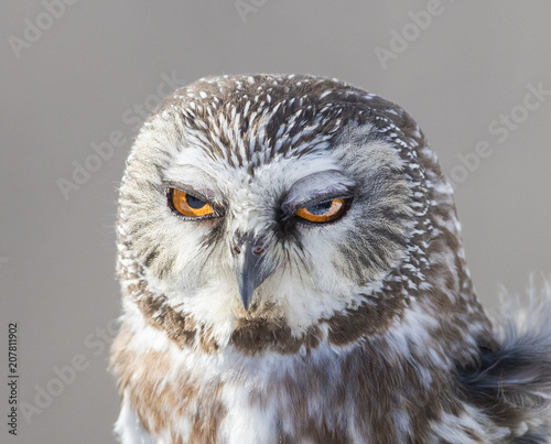 northern saw-whet owl portrait