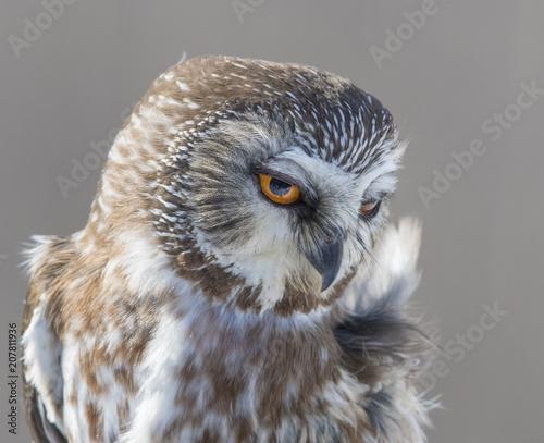 northern saw-whet owl portrait
