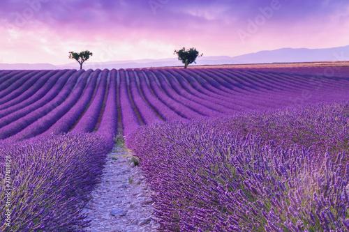 Foto op Aluminium Snoeien Violet lavender bushes.Beautiful colors purple lavender fields near Valensole, Provence