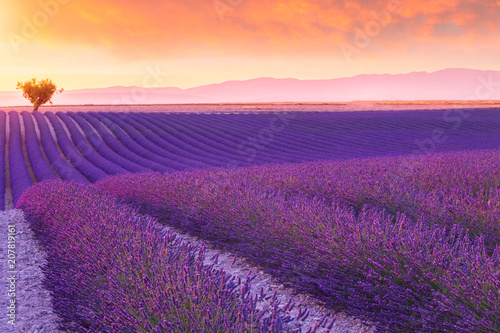 Violet lavender bushes.Beautiful colors purple lavender fields near Valensole, Provence
