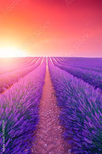 Garden Poster Lavender Violet lavender bushes.Beautiful colors purple lavender fields near Valensole, Provence