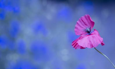 Blumen - Mohn (Papaver)