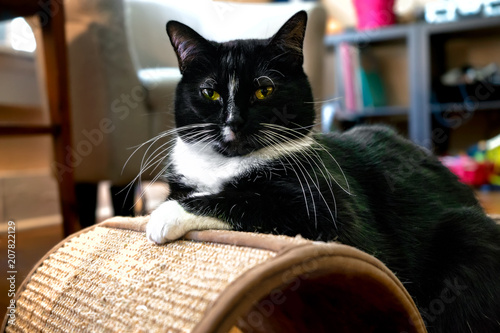 Valokuva  Tuxedo cat black with long white whiskers posing dignified on scratching board