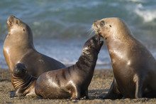 Mother And Baby Sea Lion, Patagonia