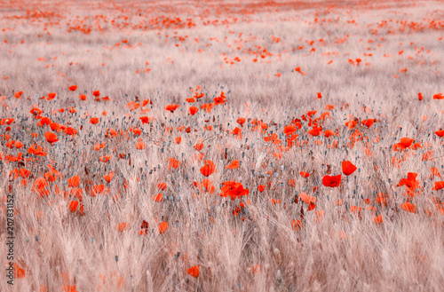 Staande foto Rood, zwart, wit Sunny wheat field with common poppies. Selective focus used.