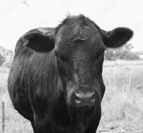 Fototapety, obrazy: Steers fed on pasture, La Pampa, Argentina