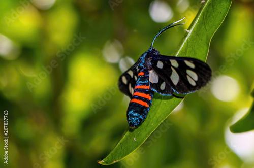Photo Wasp Moth On Leaf Amata Alicia