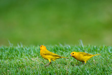 Close Up Of Two Bright Yellow Saffron Finches Standing On The Grass Looking Around Inquisitively, Hawaii
