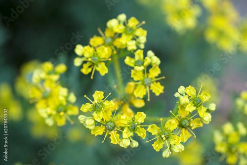 Fototapeta yellow flowers of common rue (Ruta graveolens) macro shot of the herbal plant obraz