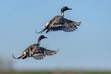 Northern Pintail Duck Drake Ta...