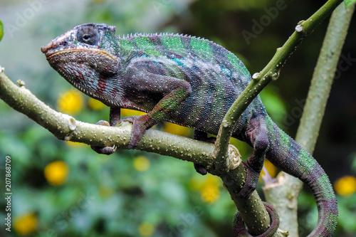 Panther Chameleon (lat. Furcifer pardalis),wild nature, Madagascar