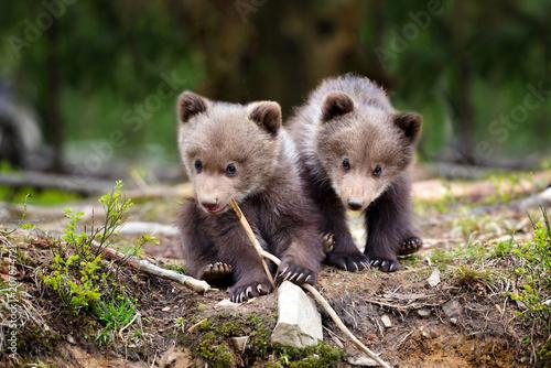 Fotografie, Obraz  Two little brown bear cub in summer forest