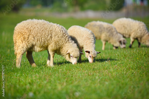 Autocollant pour porte Sheep Sheeps in a meadow on green grass