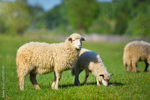 Cadres-photo bureau Sheep Sheeps in a meadow on green grass