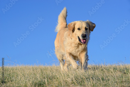 Photo Golden Retriever dog in the field.