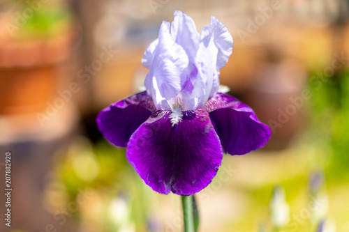 Spoed Foto op Canvas Iris Iris blooming in the garden