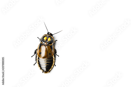Headlight Cockroach isolated on white.