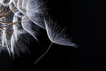 Fototapeta Dmuchawce Dandelion seed in black