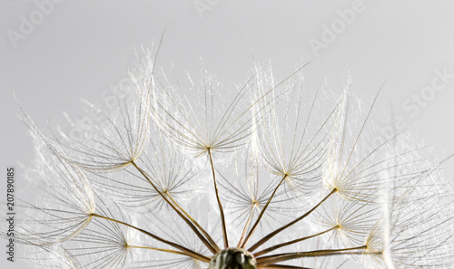 Poster Pissenlit dandelion seed background. Seed macro closeup. Spring nature