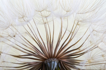 Panel Szklany Podświetlane Dmuchawce dandelion seed background. Seed macro closeup. Spring nature