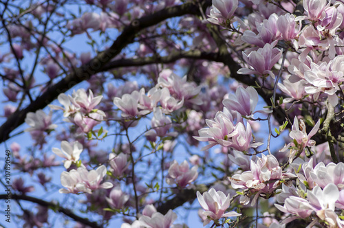 Foto op Plexiglas Magnolia Magnolia soulangeana also called saucer magnolia flowering springtime tree with beautiful pink white flower on branches
