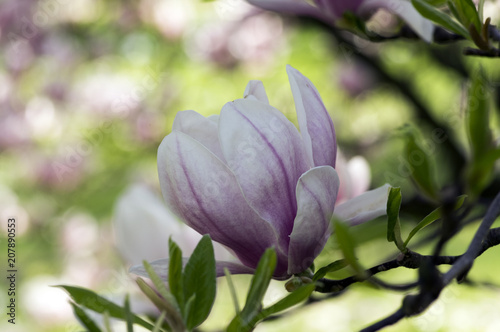 Fotobehang Magnolia Magnolia soulangeana also called saucer magnolia flowering springtime tree with beautiful pink white flower on branches