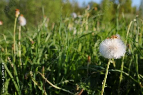 Deurstickers Paardebloem красивый белый одуванчик на фоне зеленой травы