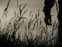 Crop Silhouette In Field With Wheat