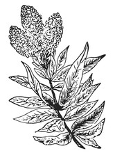 Lemon Verbena #vector #isolate...