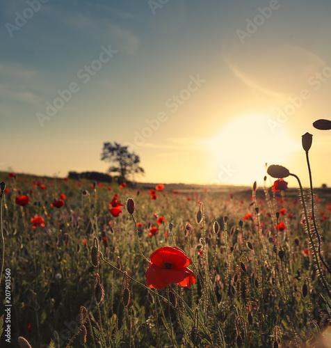 Fototapeta Wonderful landscape during sunrise. Blooming red poppies on field against the sun, blue sky. Wild flowers in springtime. Beautiful natural landscape in the summertime. Amazing nature Sunny scene. obraz na płótnie