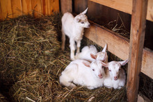 White And Cute Baby Goats In A Barn.