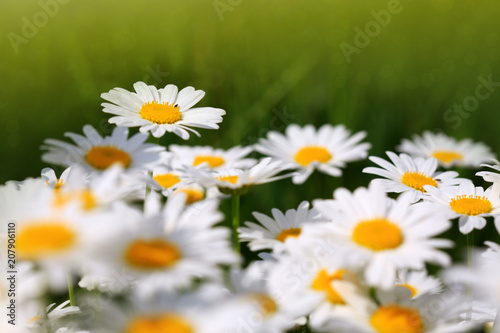 Foto op Canvas Madeliefjes Summer field with white daisy flowers .