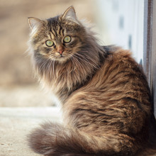 Portrait Of A Maine Coon Cat I...